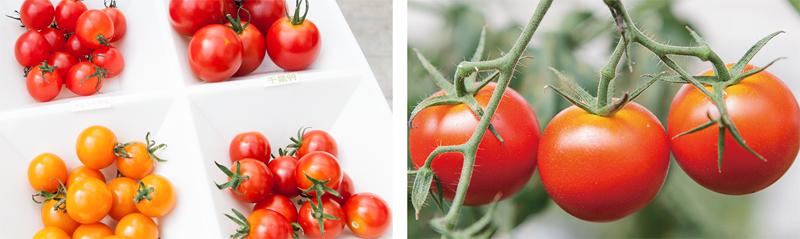 tomato_photo2